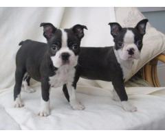 Preciosos cachorros de Boston Terrier en busca de nuevas viviendas