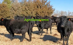 Angus, Angus Cross, Brahman, Hereford, Hereford Cross, Wagyu Cows.
