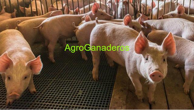 Piglets, Pigs